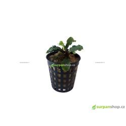 Bucephalandra Green Wavy - emerz