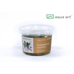 Bucephalandra sp. Aqua Artica