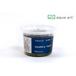 Hygrophila sp. Araguaia