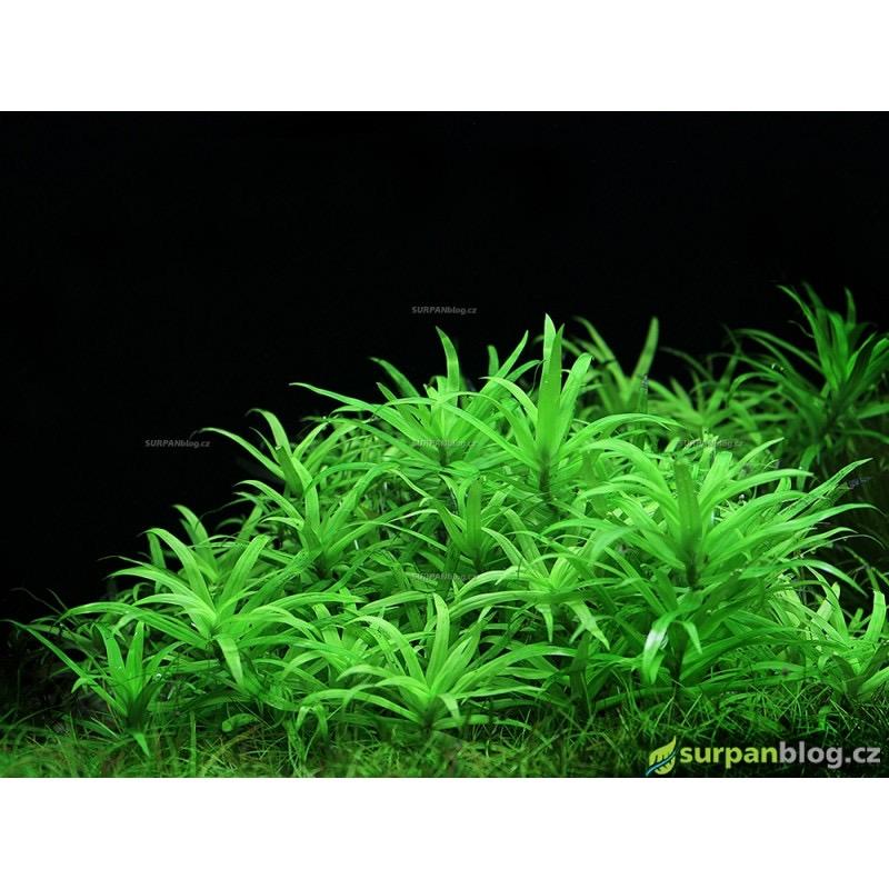 Heteranthera zosterifolia - in vitro