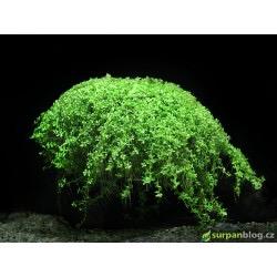 Micranthemum Monte Carlo - in vitro