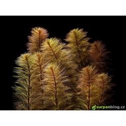 Myriophyllum tuberculatum - in vitro