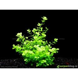 Micranthemum umbrosum - in vitro AquaArt