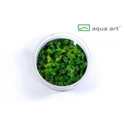 Ludwigia brevipes - in vitro AquaArt