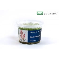 Rotala rotundifolia - in vitro AquaArt