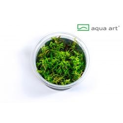 Ludwigia arcuata - in vitro AquaArt