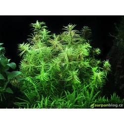 Didiplis diandra - in vitro AquaArt