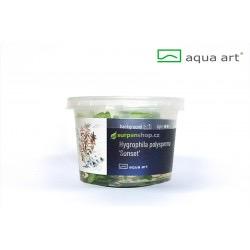 Hygrophila Sunset - in vitro AquaArt
