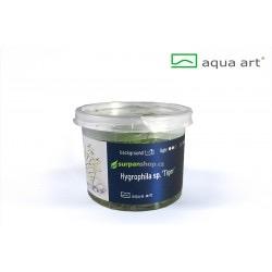 Hygrophila sp. Tiger - in vitro AquaArt