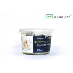 Pogostemon stellatus - in vitro AquaArt