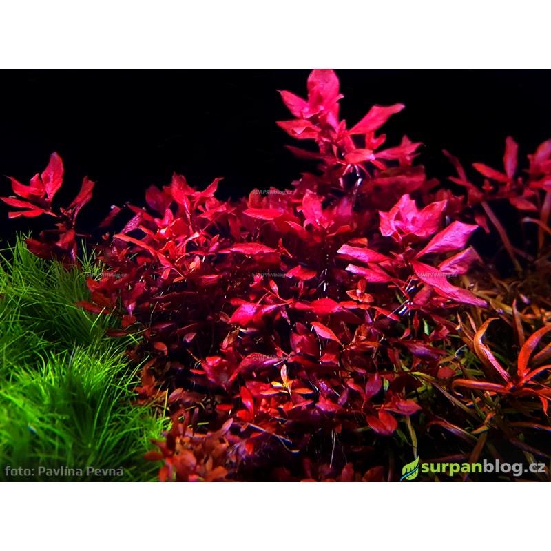 Ludwigia sp. mini Super Red