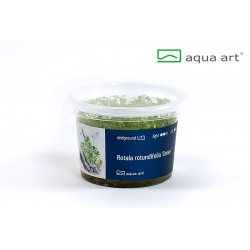 "Rotala rotundifolia ""Green"" - in vitro AquaArt"