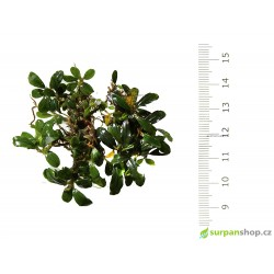Bucephalandra sp. Super Mini