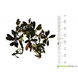 Bucephalandra sp. Brownie Purple