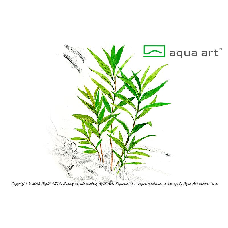 Hygrophila corymbosa Thailand - in vitro AquaArt