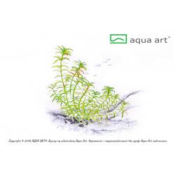 Limnophila Vietnam - in vitro AquaArt