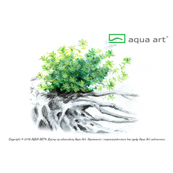 Micranthemum micranthemoides - in vitro AquaArt