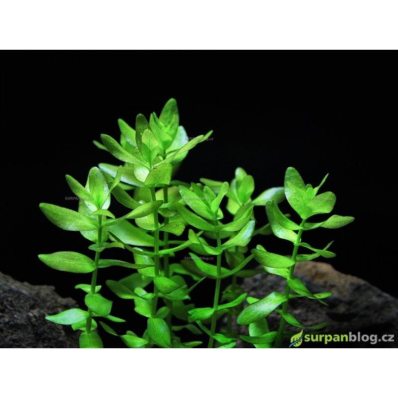 Bacopa caroliniana - in vitro AquaArt
