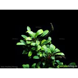 Bucephalandra sp. Ulysses - limitovaná edice - in vitro AquaArt