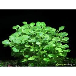 Lobelia cardinalis mini - in vitro GrowCup