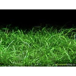 Echinodorus tennelus (Helanthium tenellum) - in vitro GrowCup