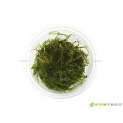 Vesicularia sp. China moss