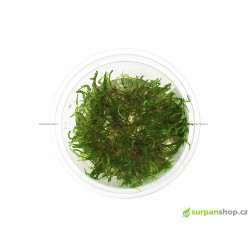 Taxiphyllum sp. Peacock moss - in vitro GrowCup
