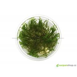 Taxiphyllum sp. Spiky moss